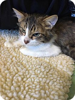 Domestic Mediumhair Kitten for adoption in Adrian, Michigan - Ace