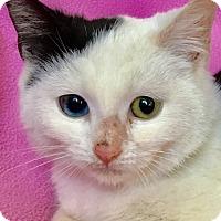 Domestic Shorthair Kitten for adoption in Smithtown, New York - Sabrina