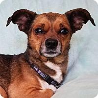 Adopt A Pet :: Mogly - North Las Vegas, NV