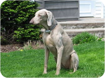 Weimaraner Dog for adoption in Attica, New York - Mandy