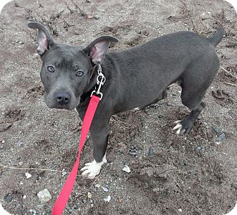 American Pit Bull Terrier Mix Puppy for adoption in bridgeport, Connecticut - Ella