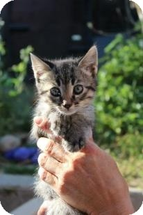 Domestic Shorthair Kitten for adoption in Santa Monica, California - Kennedy
