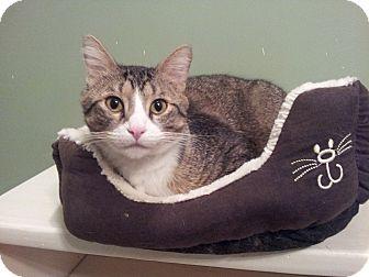 Domestic Shorthair Cat for adoption in St. Louis, Missouri - Hank