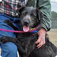 Adopt A Pet :: BAXLEY ~ SCRUFFY BOY - Hanover, PA