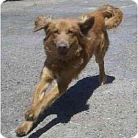 Adopt A Pet :: Golden Dash - Scottsdale, AZ