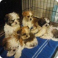 Adopt A Pet :: Shih Tzu Puppies - Ogden, UT