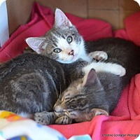 Adopt A Pet :: Carmine - Island Park, NY