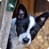 Adopt A Pet :: Pete - Garland, TX
