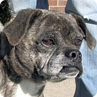 Adopt A Pet :: Puddy - Germantown, MD