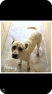 Blue Heeler Mix Dog for adoption in Mandeville, Louisiana - Harry