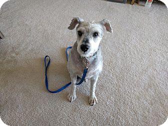 Miniature Schnauzer Dog for adoption in Laurel, Maryland - Justice