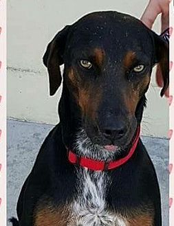 Cattle Dog/Doberman Pinscher Mix Dog for adoption in Winchester, California - Pearl