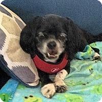 Adopt A Pet :: Pookie (in NC) - Portland, ME