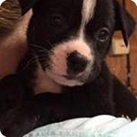 Adopt A Pet :: Ziti - Barnegat, NJ