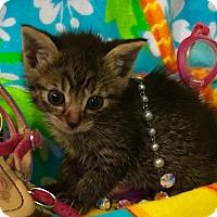 Domestic Shorthair Kitten for adoption in Greensburg, Pennsylvania - Sandra Dee