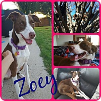Border Collie/Spaniel (Unknown Type) Mix Dog for adoption in Ft Worth, Texas - Zoey