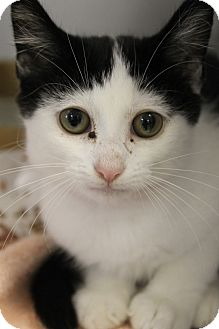 Domestic Shorthair Kitten for adoption in Medina, Ohio - Ada
