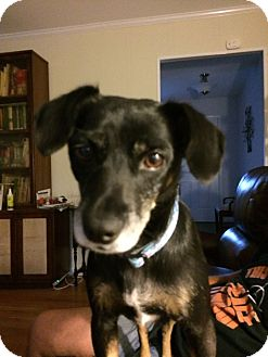 Labrador Retriever Mix Dog for adoption in WESTMINSTER, Maryland - Mammie