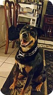 Bernese Mountain Dog/Labrador Retriever Mix Dog for adoption in Long Beach, California - Epoh