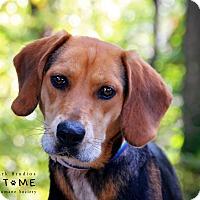 Adopt A Pet :: Bev - Edwardsville, IL