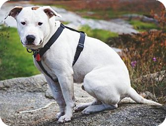 American Pit Bull Terrier Dog for adoption in Rathdrum, Idaho - Niko