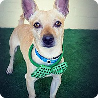 Terrier (Unknown Type, Small)/Chihuahua Mix Dog for adoption in Casa Grande, Arizona - Butterfinger