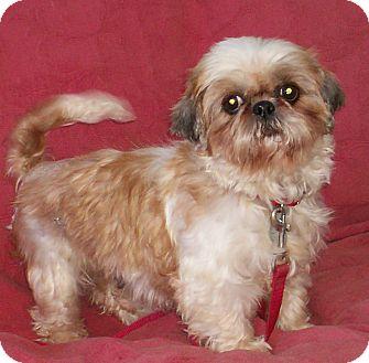 Shih Tzu Dog for adoption in Sullivan, Missouri - Rhyli