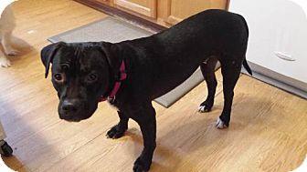 Pit Bull Terrier Dog for adoption in Fargo, North Dakota - Roxy