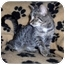 Photo 2 - Domestic Shorthair Kitten for adoption in Brighton, Michigan - Hanah