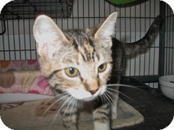 Domestic Shorthair Kitten for adoption in Shelton, Washington - Jolie