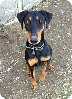 Doberman Pinscher Dog for adoption in New Richmond, Ohio - Ziva--adopted!!