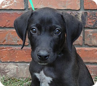 Labrador Retriever/German Shorthaired Pointer Mix Puppy for adption in ...