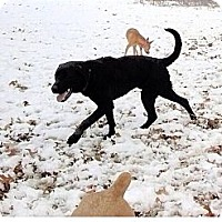 Adopt A Pet :: Elvis - Oak Brook, IL