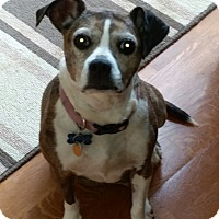 Adopt A Pet :: Chloe - Ft. Collins, CO