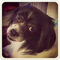 Adopt A Pet :: Chloe - San Antonio, TX