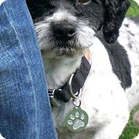 Adopt A Pet :: Augie Doggie - Salem, OR