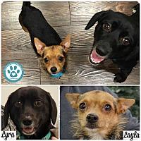 Adopt A Pet :: Lyra - Kimberton, PA