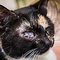 Photo 1 - Calico Cat for adoption in Chandler, Arizona - Mia Mia
