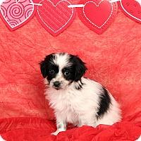Adopt A Pet :: Jeanie Shih ton - St. Louis, MO