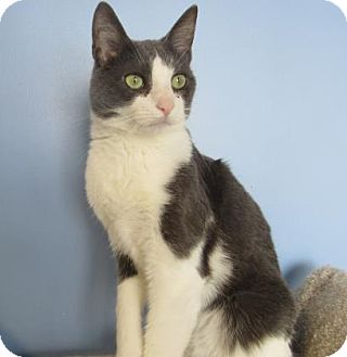 Domestic Shorthair Cat for adoption in Northfield, Minnesota - Johnny