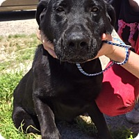 Adopt A Pet :: Bell - Rochester, NY
