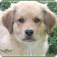 Adopt A Pet :: Truffles - Marlborough, MA