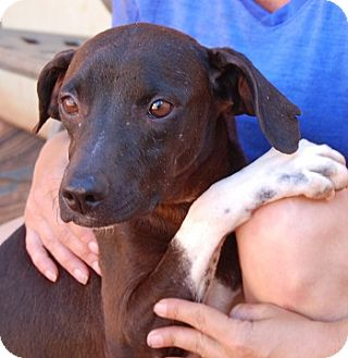 Whippet/Beagle Mix Dog for adoption in Las Vegas, Nevada - Pixie