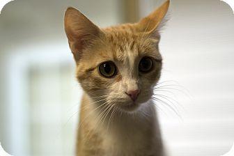 Domestic Shorthair Cat for adoption in Fremont, Nebraska - Maizy