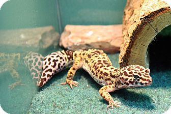 Gecko for adoption in Long Beach, California - Izzy