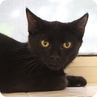 Domestic Shorthair Kitten for adoption in Naperville, Illinois - Walen
