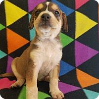 Adopt A Pet :: Shep x litter - Pompton Lakes, NJ