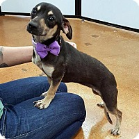 Adopt A Pet :: Bolivia - Arlington, TX