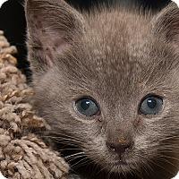 Adopt A Pet :: Raven - San Juan Capistrano, CA