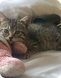 Domestic Shorthair Kitten for adoption in New York, New York - Edith
